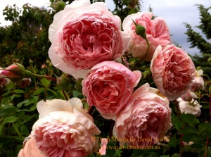 image of William Morris roses
