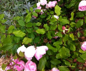 image of Roses from my garden